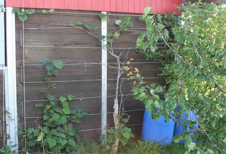 kiwi fancy plants deutsch. Black Bedroom Furniture Sets. Home Design Ideas